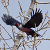 Lewis Woodpecker,  Malheur NWR, OR