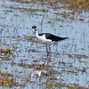 Black-necked Stilt,  Malheur NWR, OR