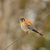 American Kestrel, Medical Lake , WA
