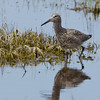 Willet, Malheur NWR, OR