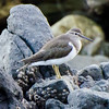 Common Sandpiper, Anilao, Philippines