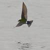 Green-Violet Swallow, Turnbull NWR, WA