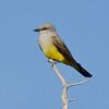 Western Kingbird,  Malheur NWR, OR