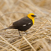 Yellow-headed Blackbird, Medical Lake , WA