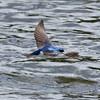 Tree Swallow, Turnbull NWR, WA