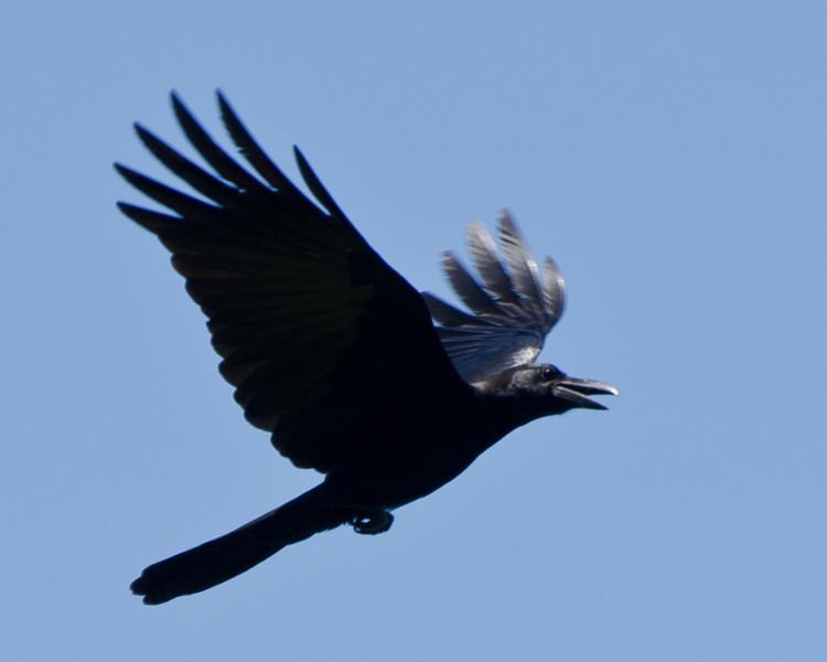 Large-billed Crow, Anilao, Philippines