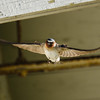 Cliff Swallow, Nisqually NWR, WA