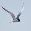 Forster Tern, Malheur NWR, OR