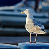 Aug 1, Glaucous-Winged Gull, Downtown Olympia Waterfront