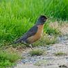 Aug.1, American Robin, near Chambers Lake