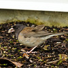 Aug 2, Dark-Eye Junco, Oregon color, St. Peter Hospital