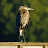 Aug 4, Great Blue Heron, downtown Olympia waterfront