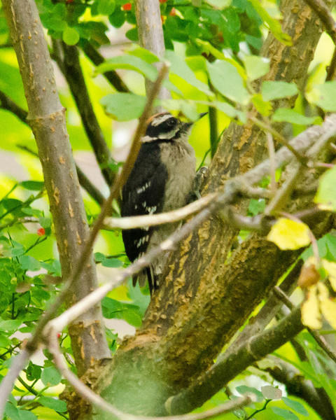 Aug 1, Hairy Woodpecker, field near St. Peter Hospital