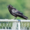 Aug 1, American Crow, Downtown Olympia Waterfront.