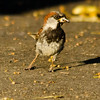 Aug 1, House Sparrow, Downtown Olympia