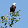 Aug 1, Bald Eagle, Hawks Prairie Ponds