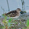 Aug 1, Least Sandpiper, near Chambers Lake