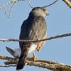 Cooper's Hawk, Tule Springs Park, Las Vegas NV