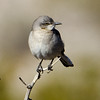 Northern Mockingbird, Las Vegas NV