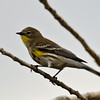 Yellow-rump Warbler, Sacramento Wildlife Refuge