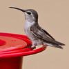 Costa's Hummingbird, Henderson ponds, Las Vegas NV