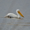 White Pelican, Sacramento Wildlife Refuge