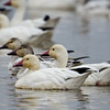 Snow Goose, Sacramento Wildlife Refuge