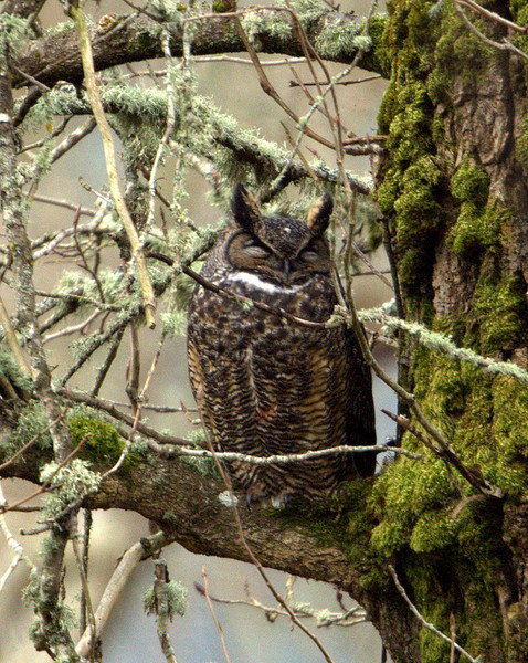 Great Horned Owl, Nisqually NWR