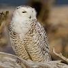 Snowy Owl, Ocean Shores