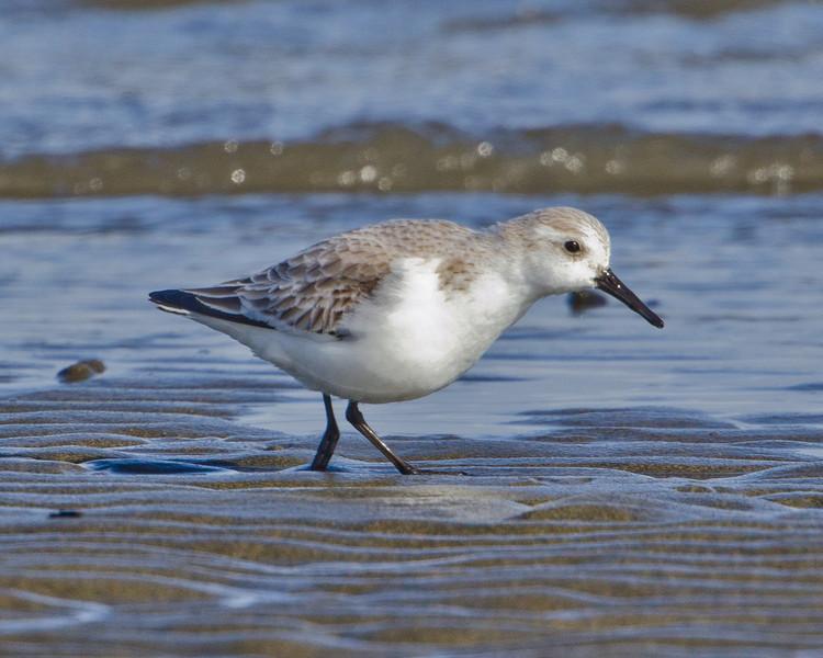 Western Sandpiper, Ocean Shores
