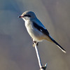Northern Shrike, Nisqually NWR