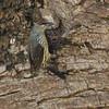 Asian Glossy Starling, Iloilo, Philippines