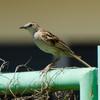 Tawny Grassbird, Iloilo, Philippines