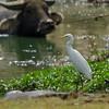 Cattle Egret, Iloilo, Philippines