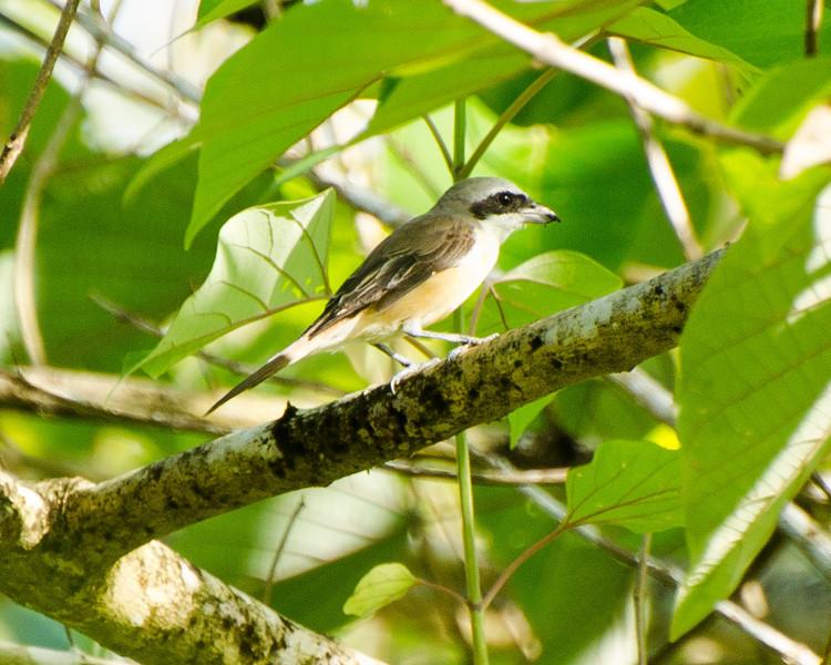 Brown Shrike , Iloilo, Philippines