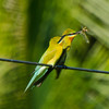 Blue-tailed Bee Eater, Iloilo, Philippines