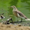 Javan Pond-Heron , Iloilo, Philippines