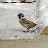 Eurasian Tree Sparrow, Iloilo, Philippines
