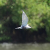 Whiskered Tern, Iloilo, Philippines