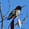 Anna Hummingbird, Bellevue, WA