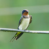 Pacific Swallow, Iloilo, Philippines
