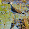 Lesser Yellowlegs, near Chambers Lake
