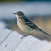 American Pipit, Nisqually NWR