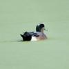 American Wigeon, Hawks Prairie ponds