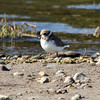 Semipalmated Plover, Nisqually NWR