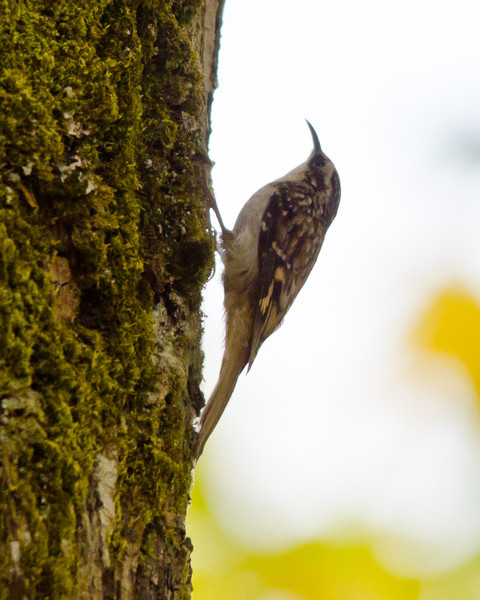Brown Creeper, Nisqually NWR
