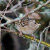 Golden-crowned Sparrow, Nisqually NWR