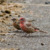 Purple Finch, Nisqually Middle school grounds