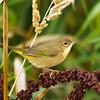 Common Yellow Throat, female, Nisqually Wildlife Reserve