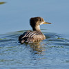 Hooded Merganser, juvenile, Capitol Lake